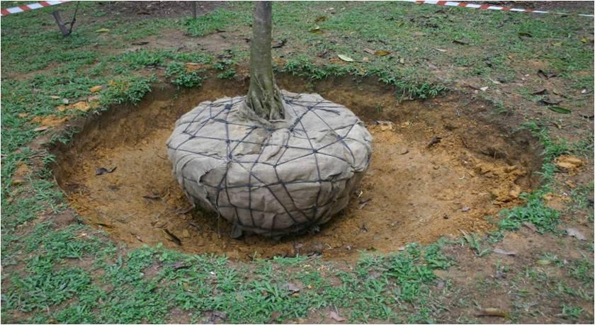 Plantation des arbres et arbustes en motte et conditionn s - Plantation arbre en motte ...